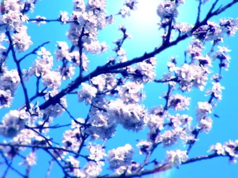 fioritura albero e bees-pal - albicocco video stock e b–roll