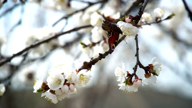 blooming tree and flying butterfly - albicocco video stock e b–roll