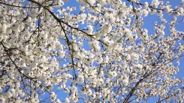 blooming tree in spring - stame video stock e b–roll