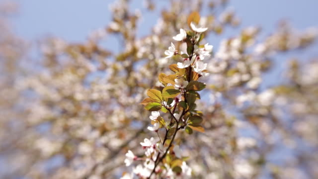blooming tree in spring with white flowers - albicocco video stock e b–roll