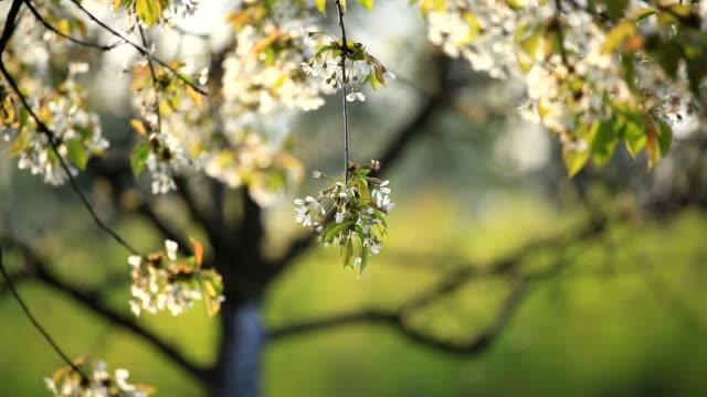 Blooming tree video