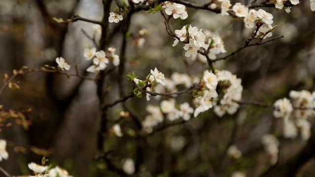 vidéos et rushes de arbre en fleurs - couleur saturée