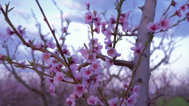 blooming trees, pink flowers of apricot tree against sky - albicocco video stock e b–roll
