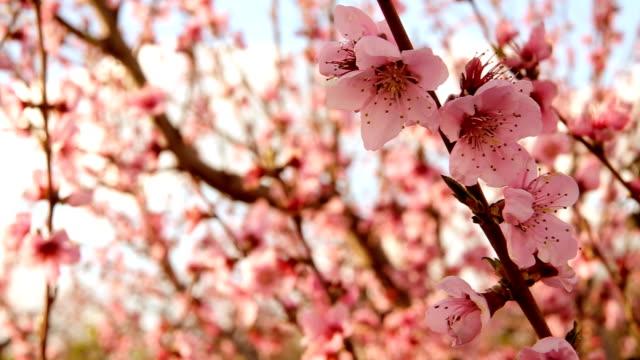 Blooming trees video