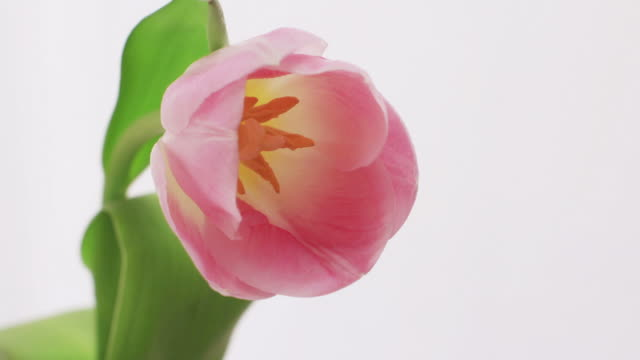 Blooming Tulip, Time Lapse Time Lapse of Blooming Tulip tulip stock videos & royalty-free footage