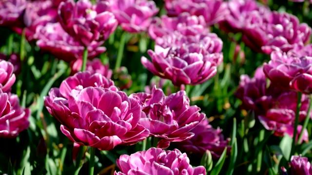 オランダ キューケンホフ花ガーデンで咲くチューリップ花壇 - キューケンホフ公園点の映像素材/bロール