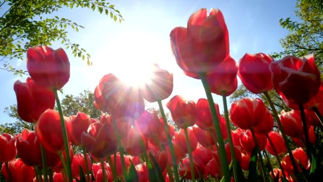 花の庭に咲くチューリップは。リッセ, オランダ。 - 花壇点の映像素材/bロール