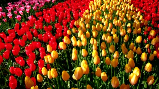 キューケンホフ花庭に咲くチューリップは。リッセ, オランダ。 - キューケンホフ公園点の映像素材/bロール