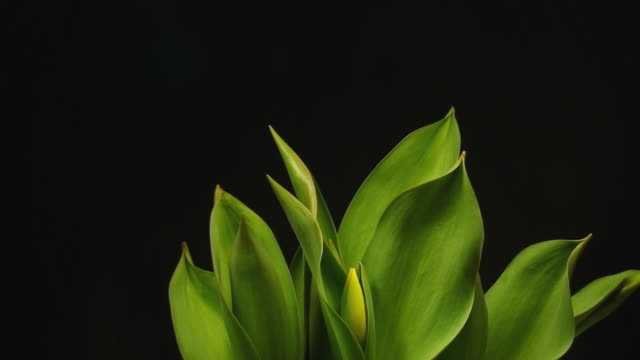 Blooming tulips Amazing time lapse video with some tulips blooming fast over black background tulip stock videos & royalty-free footage