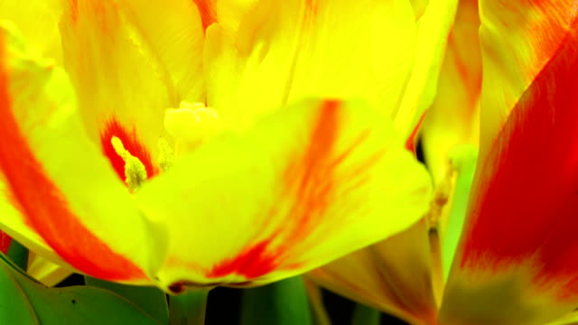 Blooming tulips video