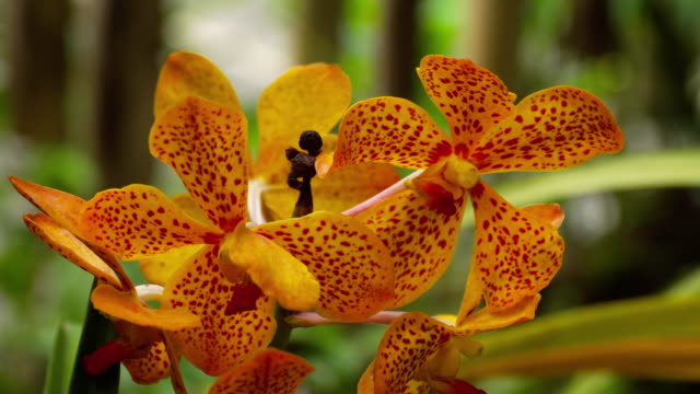 Blooming twig of tiger orchid
