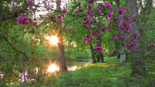 Blooming violet apple tree in the sunset