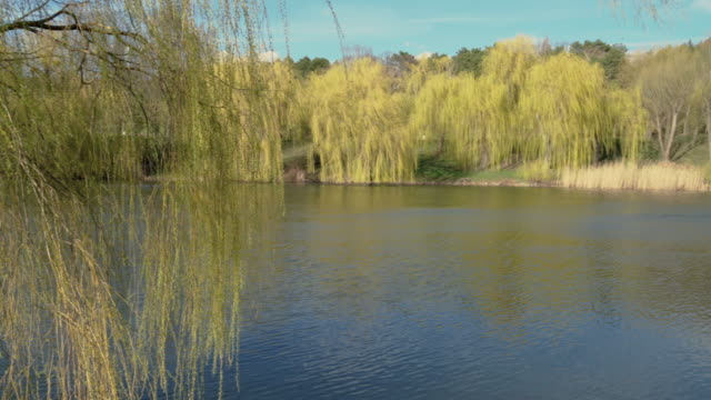 Blooming weeping willows near a small pond, sunny windy day in spring