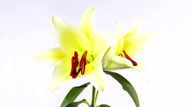 rozkwiecony białe i fioletowe lilia na białym tle, ekspozycja poklatkowa - lilia filmów i materiałów b-roll