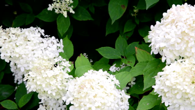 stockvideo's en b-roll-footage met witte hortensia bloem in de tuin in bloei - hortensia