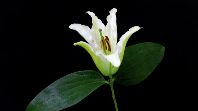Blooming White Lily video