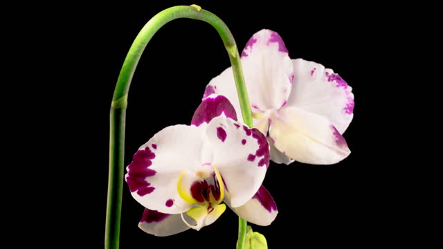 Blooming White - Magenta Orchid Phalaenopsis Flower video