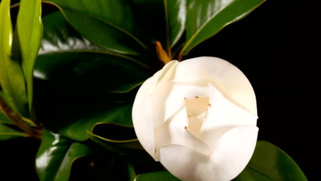 blooming white magnolia grandiflora video