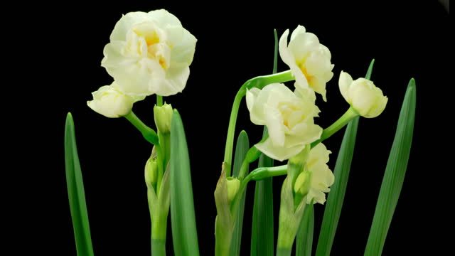 Blooming White Narcissus Flower video