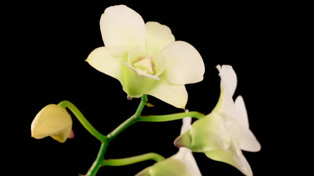 Blooming White Orchid Dendrobium Flower