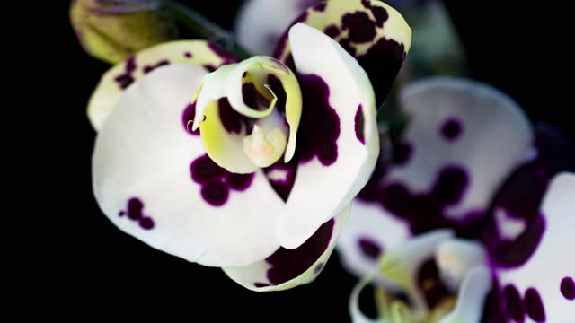 Blooming White Orchid Phalaenopsis Flower on Black Background. Time Lapse. Negative Space. 4K.