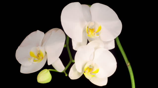 Blooming White Orchid Phalaenopsis Flower video