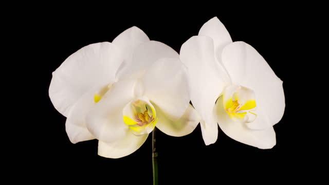 Blooming White Orchid Phalaenopsis Flower