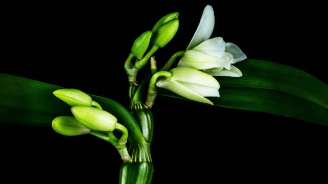 blühende weiße orchidee - orchidee stock-videos und b-roll-filmmaterial