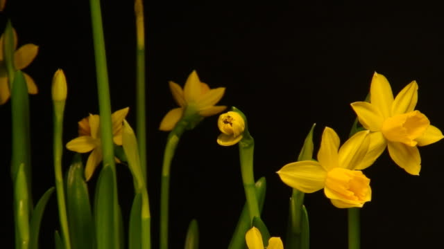 Blooming Winter Narcissus video