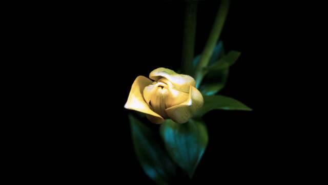 kwitnących żółty lilia - lilia filmów i materiałów b-roll