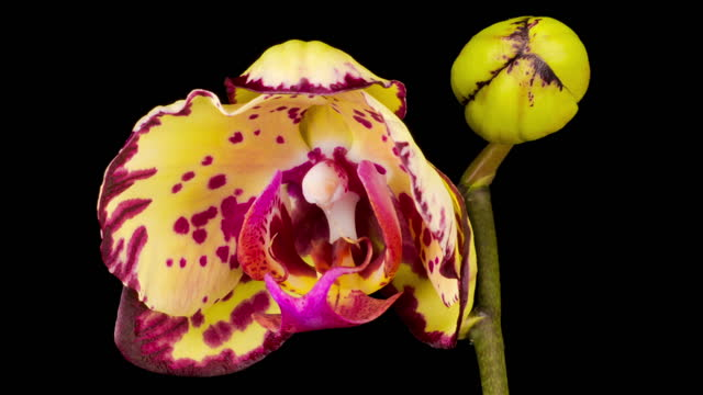 Blooming Yellow - Magenta Orchid Phalaenopsis Flower video