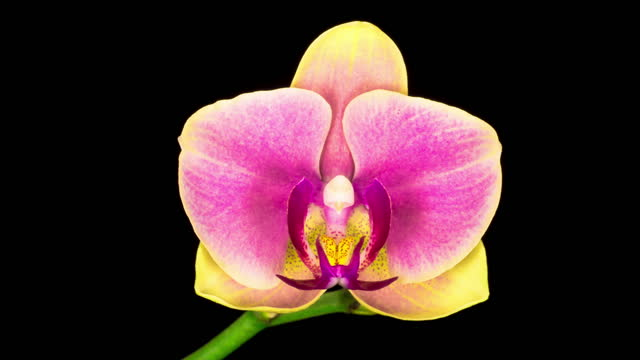 Blooming Yellow - Pink Orchid Phalaenopsis Flower video