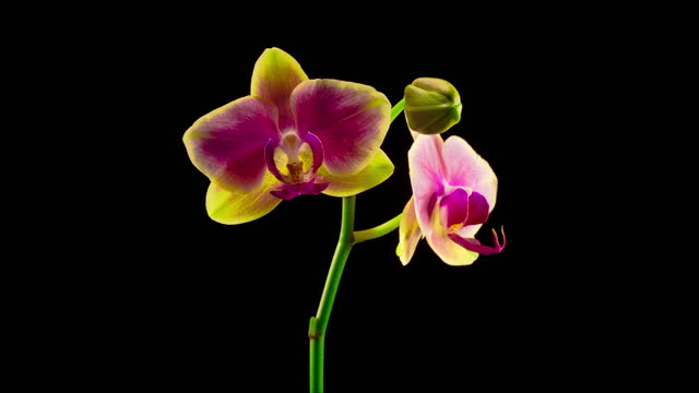 Blooming Yellow - Pink Orchid Phalaenopsis Flower