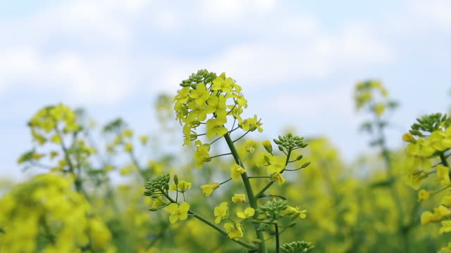 Blooming yellow rapeseed field. Picturesque canola field under blue sky with white fluffy clouds. Wonderful video footage for ecological agricultural concept. Slow motion video. video