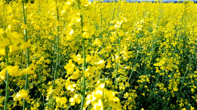 Blooming yellow rapeseed field with blue cloudless sky. video
