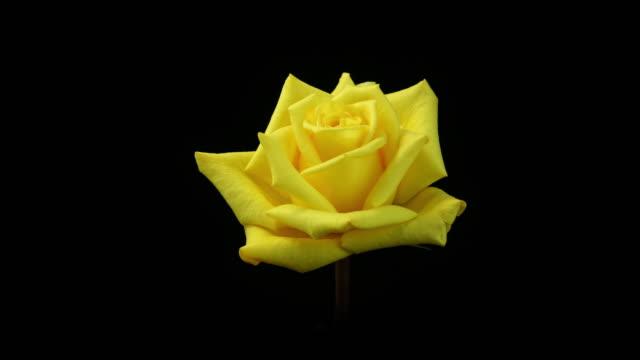 vídeos de stock, filmes e b-roll de florescendo rosas amarelas 4 k - amarelo