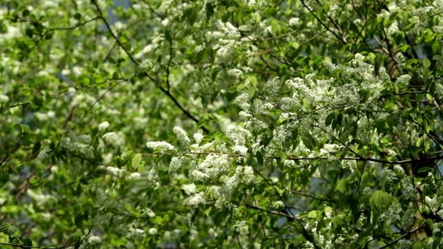 Blossom bird cherry trees wind swaying spring video