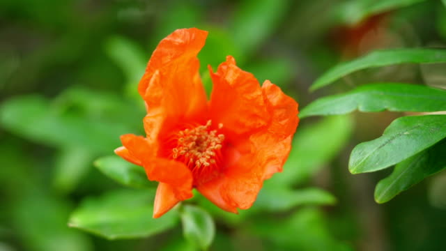 Blossom of a garnet tree. video
