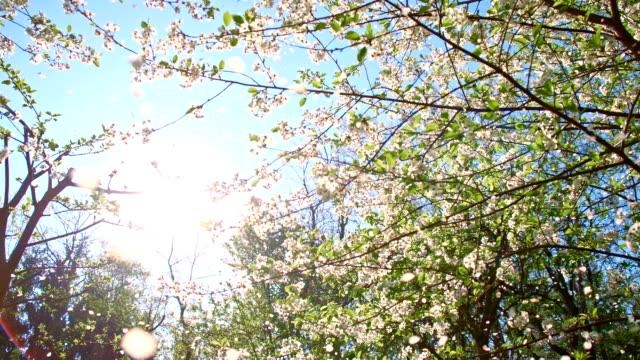 vídeos de stock, filmes e b-roll de slo mo pétalas de flor de cerejeira caindo da árvore - cerejeira árvore frutífera