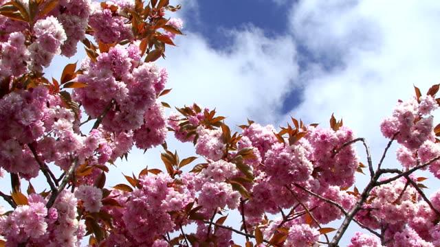 Blossom Tree video