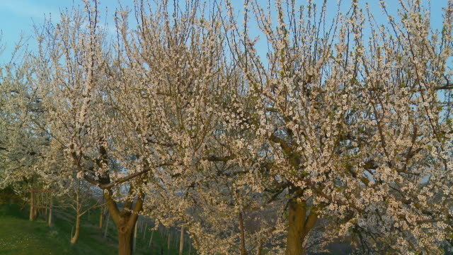 HD DOLLY: Blossom Trees In The Orchard video