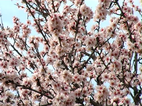 stockvideo's en b-roll-footage met blossoming almond pal - natuurgrond