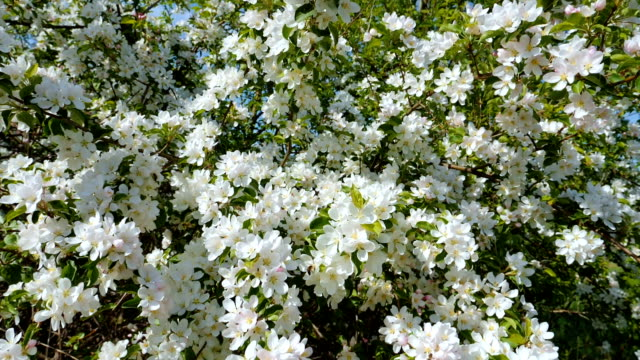 Blossoming apple fruit trees in orchard in springtime video