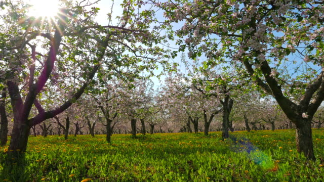 Blossoming apple orchard, pan video