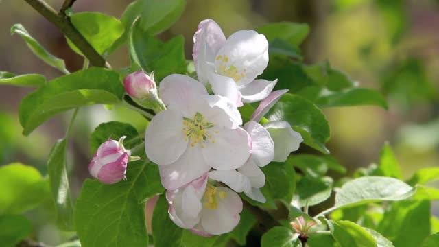 vídeos de stock e filmes b-roll de blossoming apple tree - maio
