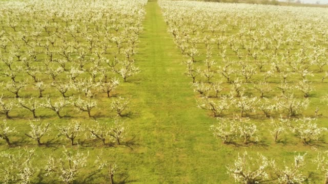 blossoming apple trees on an orchard - albicocco video stock e b–roll