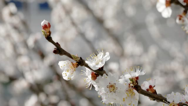 blossoming apricot branch in early spring. sunny day - albicocco video stock e b–roll