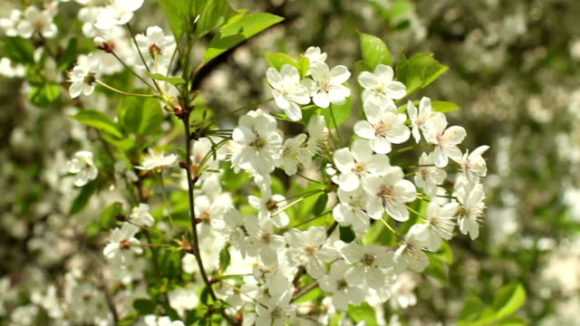 blossoming cherry orchard video
