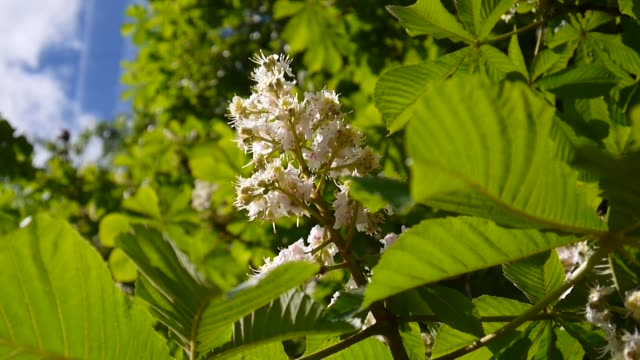 Blossoming chestnut tree in spring. Video is shot with a static camera Flowering tree chestnuts. Video is shot with a static camera. plant part stock videos & royalty-free footage