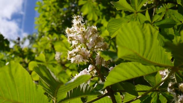 stockvideo's en b-roll-footage met bloei kastanje boom in het voorjaar. video is geschoten met een statische camera - plantdeel